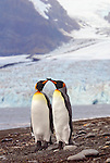 King Penguin courting couple touch and cross beaks standing next to each other with Ross glacier in the background.