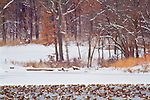 Canadian Geese swim in the water and rest on the ice at Lake Remembrance in Blue Springs, Missouri. The ground is covered with white snow.  Snow covered trees stand in the snow.