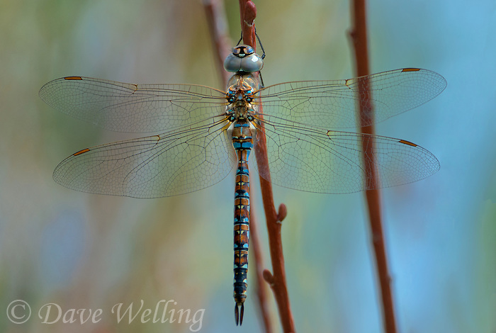339300011 a wild male california darner rhionaeschna californica perches on a plant stem near an irrigation channel in inyo county california