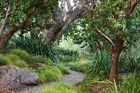Path through front garden under native Oak tree, Quercus lobata, Arbutus 'Marina' Strawberry trees, Phormium and grasses; Moore Garden Los Altos, California; Ground Studio Landscape Architecture
