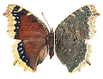 Mourning Cloak Butterfly, Nymphalis antiopa