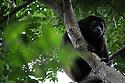 NICARAGUA. Howler monkeys