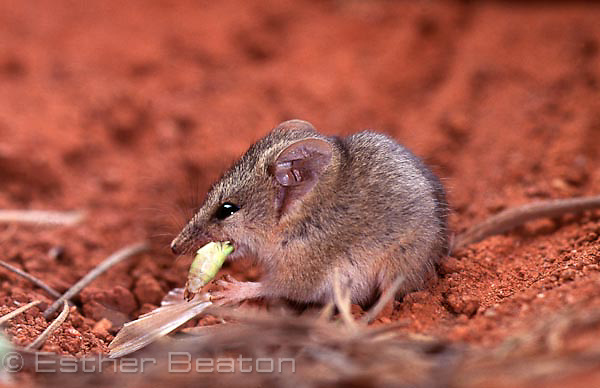 Striped-faced Dunnart (Sminthopsis macroura) eating grasshopper. Northern Territory