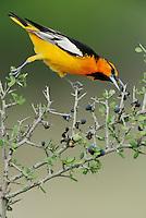 Bullock's Oriole (Icterus bullockii), male eating berries, Laredo, Webb County, South Texas, USA