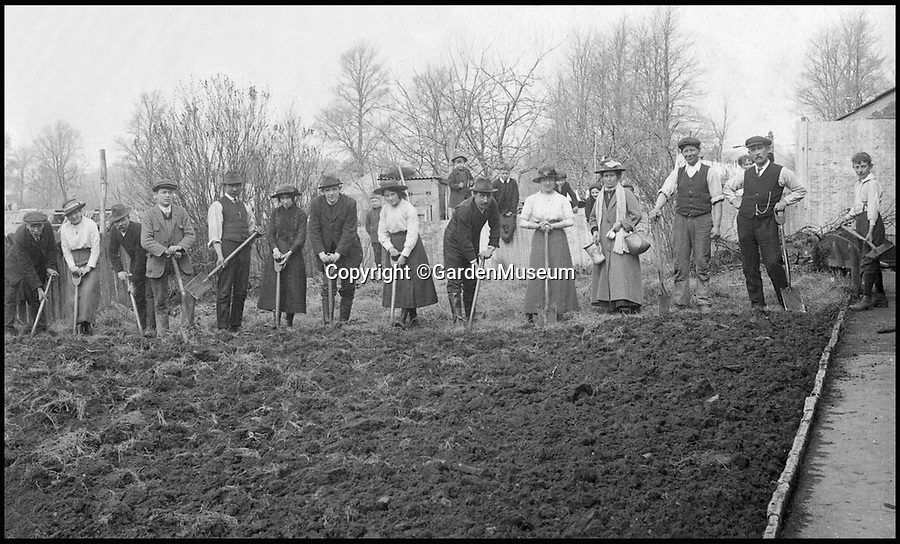 BNPS.co.uk (01202 558833)<br /> Pic: GardenMuseum/BNPS<br /> <br /> Breaking up the land for allotments and potato  elds was often a communal enterprise, as seen here at Chippenham in c. 1900, and both men and women had much to gain from their creation. <br /> <br /> These fascinating old pictures show that allotments have been a passion of the British for centuries.<br /> <br /> Today, more than 90,000 people are on waiting lists to get their own little patch of land to grow vegetables, and the pastime was just as popular in the early years of the 20th century.<br /> <br /> Garden historian and lecturer Twigs Way has sourced dozens of images of green-fingered Brits tending to their allotments during the 'allotment craze' amongst the middle classes sparked by the Allotments Act of 1908 which required councils to supply them when demanded.<br /> <br /> Families would decamp to the allotment on a Sunday and picnic among the cabbages, dividing tasks with the husband digging, the wife collecting crops and the children weeding or caterpillar picking.<br /> <br /> They grew cabbage, carrots, leeks, parsnips, beet, marrow and spinach while also staying faithful to the Victorian favourites seakale, salsify, scorzonera and asparagus.<br /> <br /> The allotments helped keep the British fed during the two world wars but fell out of favour in the 1960s and 1970s with elderly plot holders cast as villains in the battle to free up land for the housing boom.<br /> <br /> But, prompted by a desire amongst Brits to reconnect with the land, they are now in the throes of a full-scale revival.