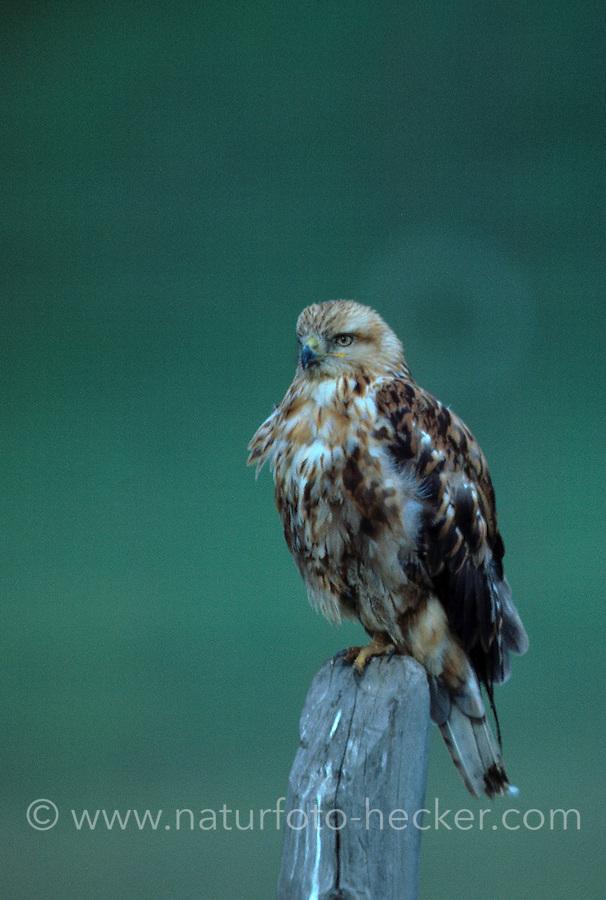 Adlerbussard, Adler-Bussard, Buteo rufinus, long-legged buzzard