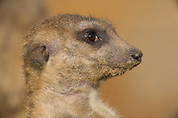 Germany, DEU, Gelsenkirchen, 2006-Nov-16: A meerkat (suricata suricatta) keeping watch in the Gelsenkirchen zoo.
