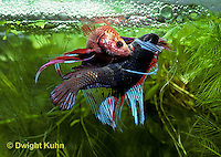 BY05-037z  Siamese Fighting Fish - male mating with egg laden female - Betta splendens