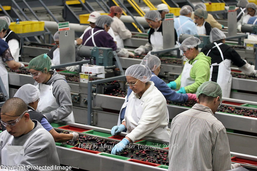 "Eva Solorzano, center, is one of many workers who pack cherries at a Zirkle Fruit packing shed in Selah, Washington. She is sorting cherries to pick out split, damaged or small cherries for the cull bin. The remaining ""fancy grade"" cherries will be shipped out to stores where, in most cases, they arrive within 24 hours of picking."