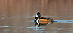 Drake hooded merganser resting on a northern Wisconsin lake.