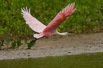 A roseate spoonbill in flight in the Pantanal, Mato Grosso, Brazil.