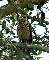 CALI - COLOMBIA, 30-06-2016: Caracolero, especie de ave presente en el norte de Cali. / Caracolero, bird species present in north of Cali Photo: VizzorImage / Dario Ramirez / Cont.