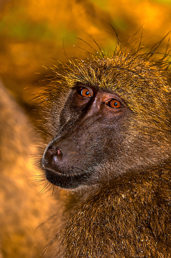 Baboon, Kruger National Park, South Africa