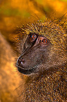 Baboon, Kruger National Park, South Africa