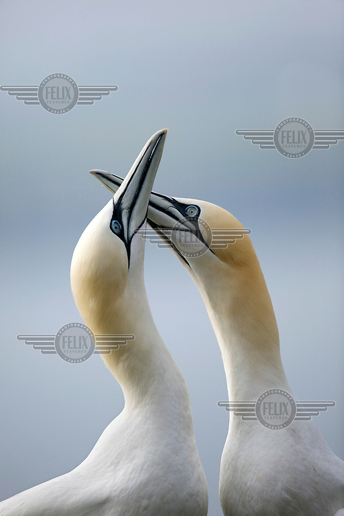 Two Atlantic gannets (Morus Bassanus) on Bass Rock off the coast of Dunbar, East Lothian. The rock hosts the largest single rock colony of this species in the world with 150,000 birds. They can reach a wingspan of 1.8m and stand 1m tall.