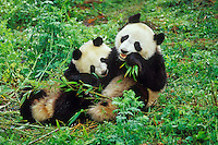 Two younger Giant Pandas (Ailuropoda melanoleuca)eat and play in bamboo forest of central China.