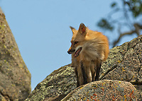 Red Fox looking for food in Yosemite, Calif.
