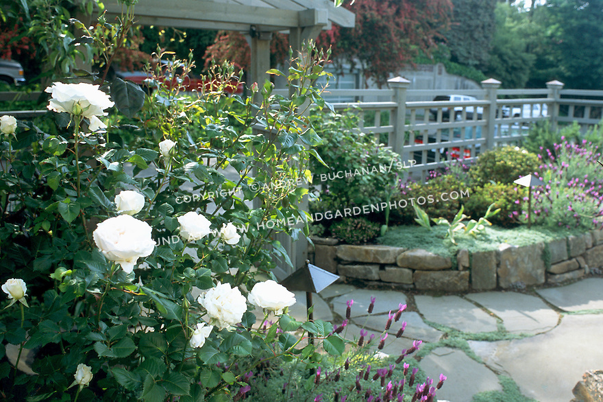 A beautiful white rose blooms along the edge of a flagstone courtyard.
