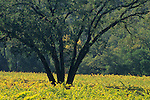Oak tree in vineyard, Warm Springs Rd., Valley of the Moon, Sonoma County, California]