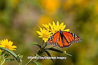 03536-05101 Monarch butterfly (Danaus plexippus) on Butterweed (Senecio glabellus) Prairie Ridge State Natural Area, Marion Co., IL