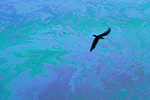 Silhouetted bird flying over oil slick on water..