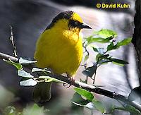 0728-1005  Baglafecht Weaver (Reichenow's Weaver), East African Bird, Ploceus baglafecht reichenowi  © David Kuhn/Dwight Kuhn Photography