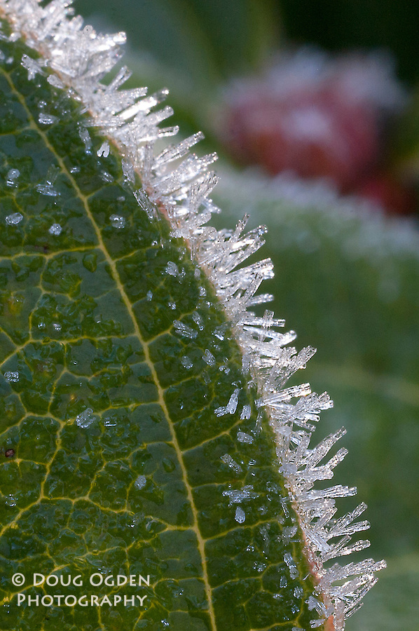 Vertical of Ice Crystals on a leaf with veins.