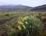 Idaho, south central, Rogerson. Lupine bloom on the desert in spring in the rain and wind.