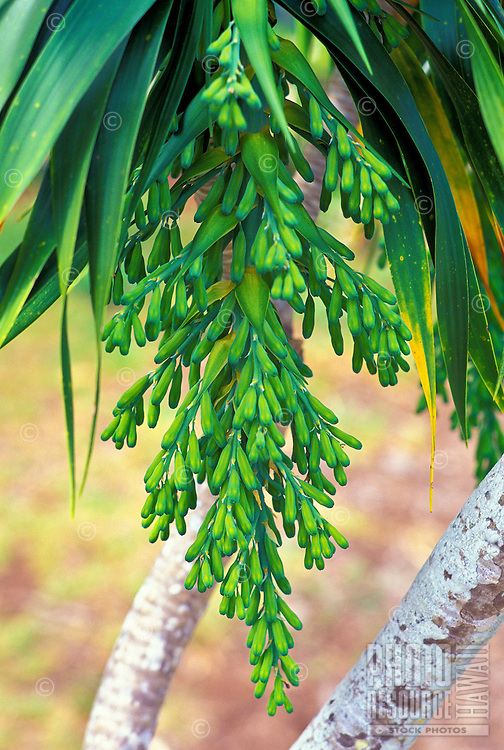 Halapepe, a native dracaena, is a dryland forest plant, South Kohala coast