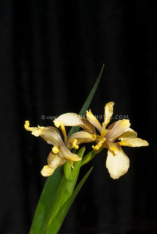 Iris foetidissima, murky yellow form