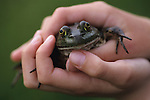 Young girl (11 yrs old) holding bull frog in hands frog looking into camera at park Lake Pleasant Bothell Washington State USA