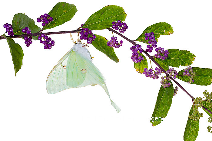 30040-00106 Luna Moth (Actias luna) on American Beautyberry (Callicarpa americana) on white background, Marion Co., IL