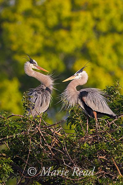 Great Blue Herons (Ardea herodias) pair interacting at nest site, Venice, Florida, USA