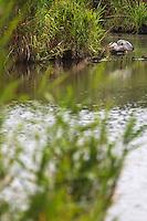 Europe/France/Pays de la Loire/44/Loire-Atlantique/Parc Naturel Régional de Brière/Saint-Lyphard: Port de la pierre Fendue - Héron gris dans le marais briéron