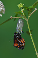 Queen (Danaus gilippus), butterfly expanding wings after  emerging from chrysalis on Aquatic Milkweed (Asclepias perennis), series, Hill Country, Central Texas, USA