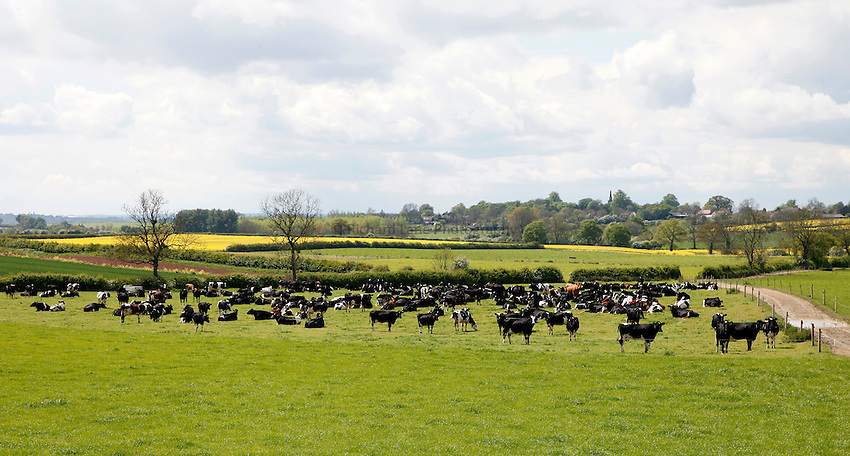 Photo: Richard Lane/Richard Lane Photography. Mole Valley Farmers Feed Solutions Dairy Nutritionists study tour to K.C & D.A Hughes, Clares Barm Farm, Twycross, Leicestershire. 13.05.2014. Dairy cows grazing.