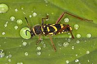 Gemeiner Widderbock, Echter Widderbock, Widder-Bock, Clytus arietis, trinkt Wasser, Guttationstropfen auf einem Blatt vom Frauenemantel, Alchemilla, Mimikry, Mimikri wegen Wespenähnlicher Zeichnung, wasp beetle