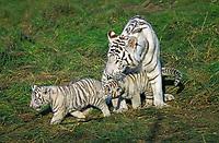 white Bengal tiger, Indian tiger, Panthera tigris tigris, mother with cubs