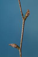 Hänge-Birke, Sand-Birke, Birke, Hängebirke, Sandbirke, Weißbirke, Knospe, Knospen, Betula pendula, European White Birch, Silver Birch, warty birch, birch, bud, buds, Le bouleau verruqueux, bouleau blanc