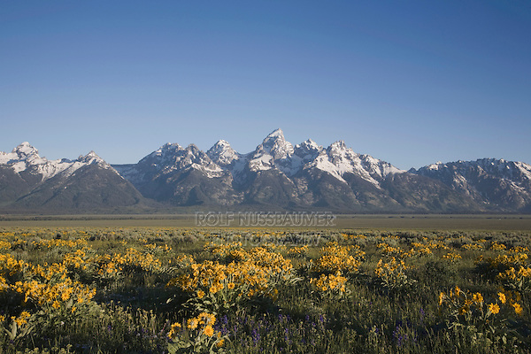 Arrowleaf Balsamroot (Balsamorhiza sagittata) and teton range, Antelope Flats, Grand Teton National Park, Wyoming, USA