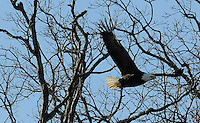 NWA Democrat-Gazette/FLIP PUTTHOFF<br /> A bald eagle takes flight from shoreline trees at Beaver Lake on Tuesday Jan. 6 2015 during the annual eagle count conducted at the lake by the Army Corps of Engineers. The effort is part of a nationwide count to keep tabs on number of bald eagles.