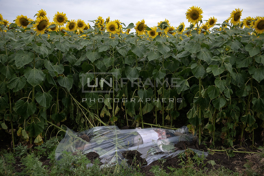 A corpse of the 289 passengers is wrapped into a plastic bag on a sunflowers field.  Malaysia  MH17 crash site, near Hrabove, Donetsk Oblast, Ukraine. Jul. 18, 2014