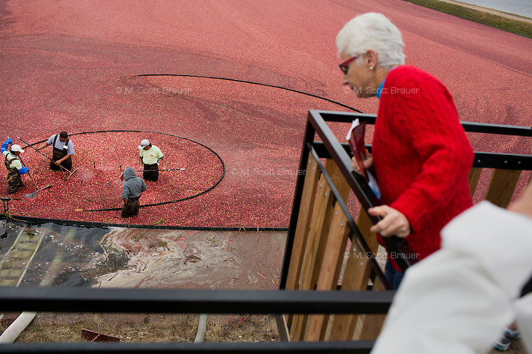 Tourists watch as workers harvest cranberries during the AD Makepeace Company's 10th Annual Cranberry Harvest Celebration in Wareham, Massachusetts, USA. AD Makepeace is the world's largest producer of cranberries. These cranberries, wet harvested with varied colors, are destined for processing into juice, flavoring, canned goods and other processed foods.