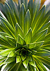 A Lobelia plant in the Pu'u Kukui Watershed, a protected rainforest on West Maui, Hawaii. Photo by Kevin J. Miyazaki/Redux