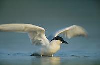 Gull-billed Tern, Sterna nilotica, adult bathing, Welder Wildlife Refuge, Sinton, Texas, USA, June 2005