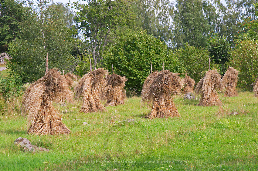 Traditional style hay bales sheaves on poles in time typical farming. The farm at Rashult where Linnaeus was born. Smaland region. Sweden, Europe.