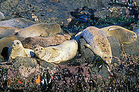 Harbor Seals basking on rocks at low tide.  Pacific Northwest.  Summer.
