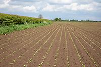 Sugar beet plants - Lincolnshire, May