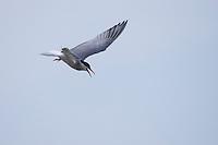 Fluss-Seeschwalbe, Fluß-Seeschwalbe, Flußseeschwalbe, Flussseeschwalbe, Flug, Flugbild, fliegend, Seeschwalbe, Seeschwalben, Sterna hirundo, common tern, flight, tern, terns