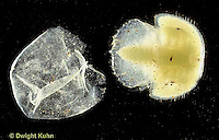 1Y46-078x  Horseshoe Crab - larva hatching out of egg - Limulus polyphemus